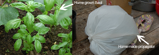 How to grow Basil in a home made propagator