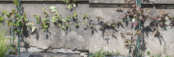 Clematis is a cure for unsightly cement walls in the garden!