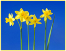 Help us support Daffodil Day 2011