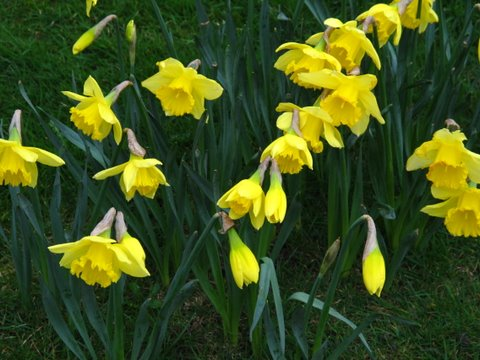 Daffodil delights for the spring garden