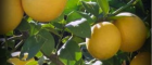 Growing lemon trees for beautiful sweet smelling fragrances and free fruits